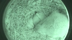 Black-tailed Prairie Dog Female Adult Young Family Spring Burrow Den Underground - stock footage