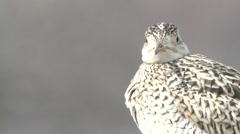 Upland Plover Adult Lone Spring Upland Sandpiper - stock footage