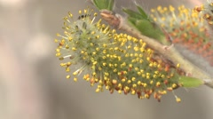 Willow Flower Spring Pollen Catkin Bud - stock footage