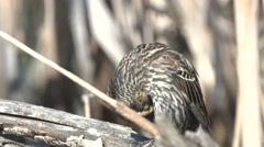 Red-winged Blackbird Female Adult Lone Spring Stock Footage