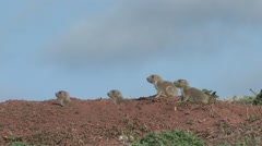 Black-tailed Prairie Dog Young Family Spring - stock footage