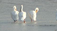 White Pelican Several Grooming Spring American Stock Footage