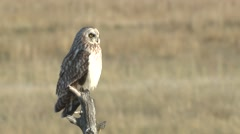 Short-eared Owl Lone Spring Stock Footage