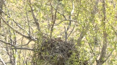 Red-tailed Hawk Adult Nesting Spring Stock Footage