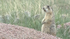 White-tailed Prairie Dog Adult Spring Stock Footage