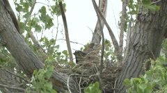 Swainsons Hawk Adult Nesting Spring - stock footage