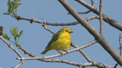 Yellow Warbler Male Lone Spring Stock Footage