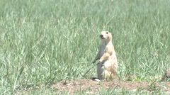 Black-tailed Prairie Dog Adult Lone Calling Spring Yip Call Stock Footage