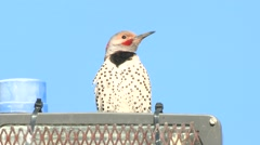 Northern Flicker Calling Spring Drumming Stock Footage