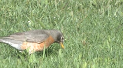 Robin Adult Feeding Spring Stock Footage