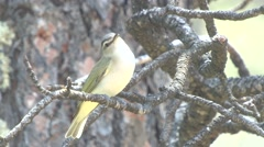 Red-eyed Vireo Male Lone Calling Spring Singing Stock Footage