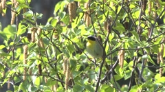 Common Yellowthroat Male Calling Spring Stock Footage