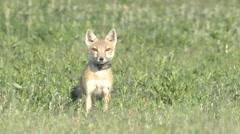Swift Fox Adult Alarmed Spring Radio-collar Stock Footage