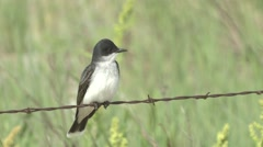 Eastern Kingbird Lone Spring Fence Wire Stock Footage