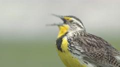 Western Meadowlark Calling Spring Closeup Stock Footage