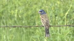Blue Grosbeak Lone Spring Fence Wire Stock Footage