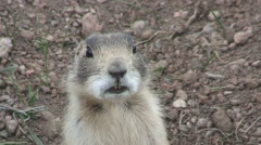 White-tailed Prairie Dog Lone Alarmed Spring Calling Closeup Handheld Stock Footage