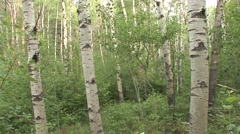 Aspen Summer Deciduous Forest Stock Footage