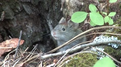 Red-backed Vole Lone Summer - stock footage