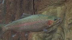 Rainbow Trout Adult Lone Spring Underwater Stock Footage