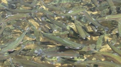 Rainbow Trout Many Spring Hatchery Stock Footage