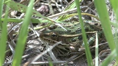 Northern Leopard Frog Spring - stock footage