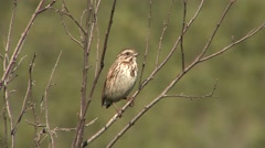 Song Sparrow Adult Calling Spring Singing Song Stock Footage