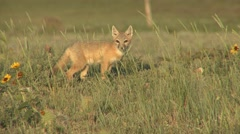 Swift Fox Young Lone Resting Spring Stock Footage