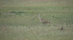 Long-billed Curlew Spring Stock Footage