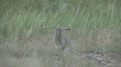 White-tailed Jackrabbit Lone Alarmed Spring Stock Footage