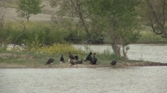 Double-crested Cormorant Several Resting Spring Stock Footage