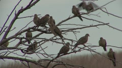 Mourning Dove Many Resting Spring Stock Footage