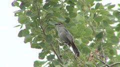 Gray Catbird Calling Spring Song Singing Stock Footage