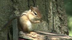 Stock Video Footage of Eastern Chipmunk Lone Feeding Spring