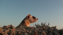 Black-footed Ferret Lone Summer Dawn Stock Footage