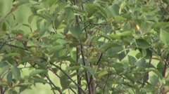 Yellow Warbler Female Summer Stock Footage