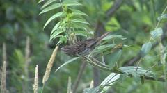 Song Sparrow Feeding Summer Stock Footage