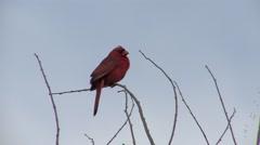 Cardinal Calling Summer - stock footage