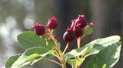 Trees & Shrubs Black Hills Fruit Summer - stock footage