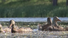 Mallard Adult Young Family Feeding Summer Ground Level - stock footage