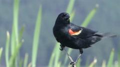 Red-winged Blackbird Summer Wetland Stock Footage