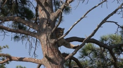 Mountain Lion Lone Resting Summer Zoom In Arkistovideo