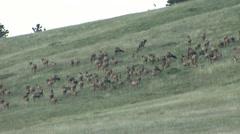 Elk Herd Summer Stock Footage