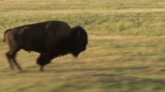 Bison Bull Adult Running Summer Tracking Stock Footage