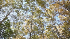 Autumn birchwood in a sunny day, the bottom view, rotation Stock Footage
