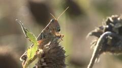 Grasshopper Summer - stock footage