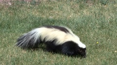 Striped Skunk Summer - stock footage