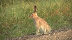White-tailed Jackrabbit Lone Summer Dusk - stock footage
