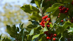 Holly and red berries on a tree. 4K UHD. Stock Footage
