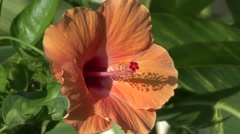 Trees & Shrubs Kauai Flower Summer - stock footage